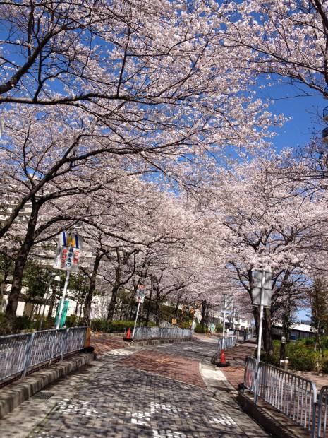 サンシティ貝塚の桜並木